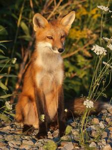 Fox in it's natural habitat